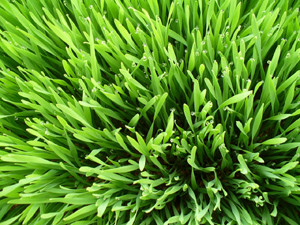 wheatgrass super food