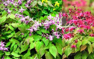 horny-goat-weed-for-sale