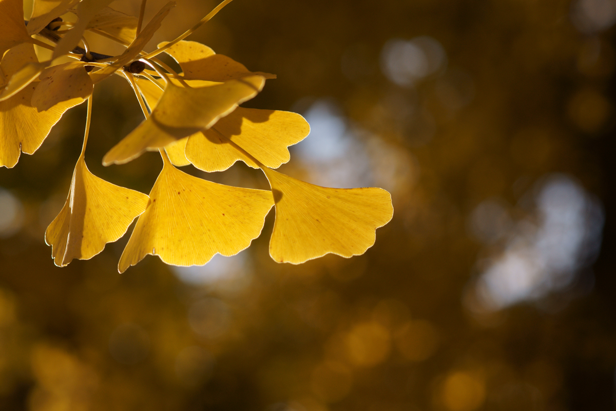 Benefits of Ginkgo Biloba 1