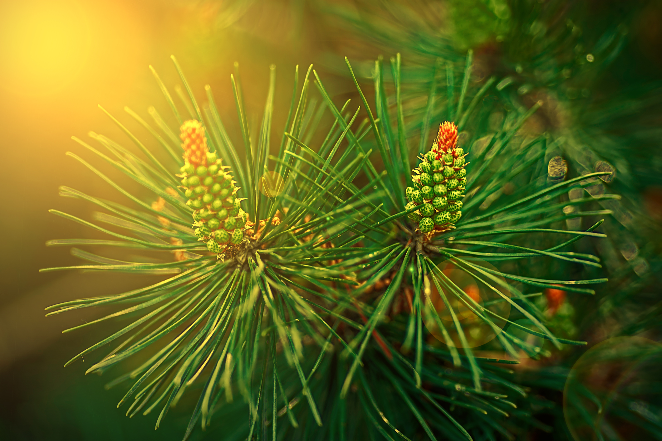 buy pine pollen tincture
