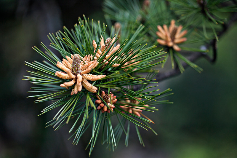 Where To Buy Pine Pollen, Its Benefits, Side Effects And Our Review