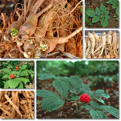 Where to buy ginseng